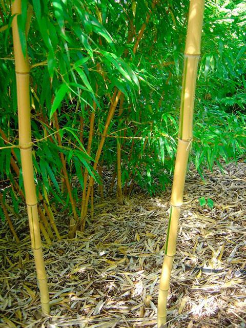 Bambus Mister Bamboo