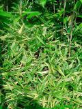 sasaella glabra albostriata